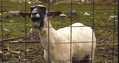 Goats Making Human Noises